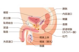 泌尿器の症状 □女性の泌尿器の症状|八戸泌尿器科医院